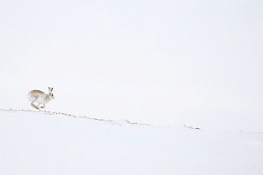 Mountain Hare (Lepus timidus) running in winter, Cairngorms National Park, Scotland