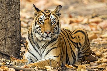Bengal Tiger (Panthera tigris tigris) female, India