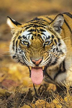 Bengal Tiger (Panthera tigris tigris) snarling, India