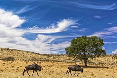 Blue Wildebeest (Connochaetes taurinus) pair in desert, Northern Cape, South Africa