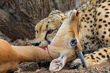 Cheetah (Acinonyx jubatus) killing Impala (Aepyceros melampus) prey, Hoedspruit, Limpopo, South Africa