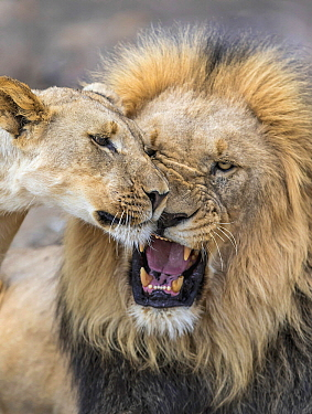 African Lion (Panthera leo) male snarling at juvenile, South Africa