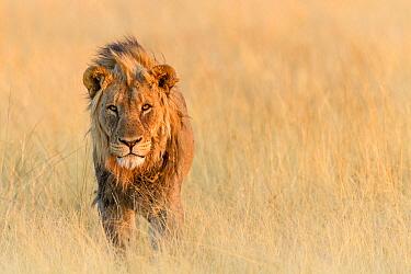African Lion (Panthera leo) male, Namibia