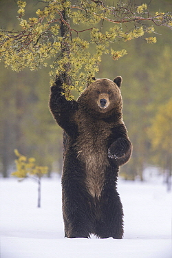Brown Bear (Ursus arctos) marking tree in late winter after hibernation, Finland