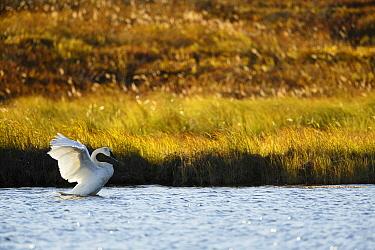 Trumpeter Swan (Cygnus buccinator) stretching, Denali National Park, Alaska