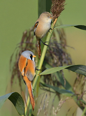 Bearded Tit (Panurus biarmicus) male and female, Dronten, Flevoland, Netherlands