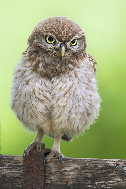 Little Owl (Athene noctua) juvenile, Netherlands