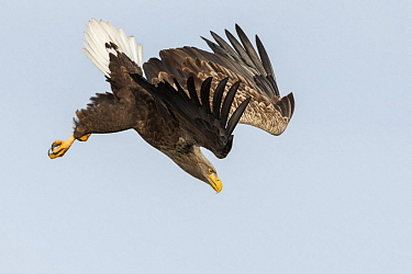 White-tailed Eagle (Haliaeetus albicilla) diving, Oderdelta, Stepnica, Poland