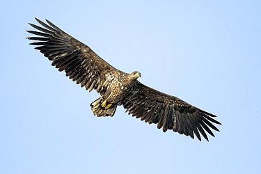 White-tailed Eagle (Haliaeetus albicilla) juvenile flying, Oderdelta, Stepnica, Poland