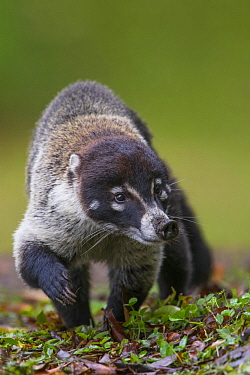 White-nosed Coati (Nasua narica), Curi Cancha Wildlife Refuge, Costa Rica