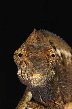 Oustalet's Chameleon (Furcifer oustaleti), Ankarafantsika National Park, Madagascar