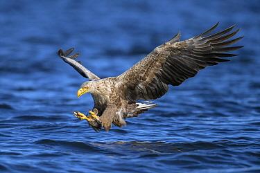 White-tailed Eagle (Haliaeetus albicilla) fishing, Oderdelta, Stepnica, Poland