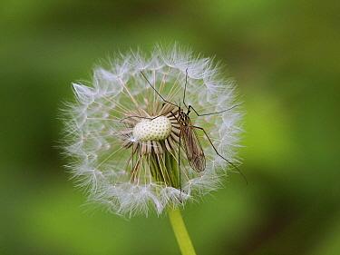 Crane Fly (Tipula sp) on Dandelion (Taraxacum officinale) seedhead, France