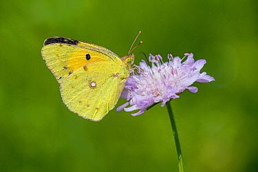 Clouded Yellow (Colias croceus) butterfly feeding on Field Scabious (Knautia arvensis) flower nectar, Bulgaria