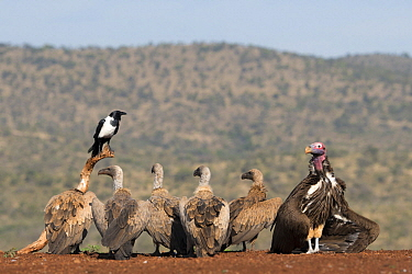 Lappet-faced Vulture (Torgos tracheliotus), White-backed Vultures (Gyps africanus) and Pied Crow (Corvus albus), Zimanga Game Reserve, South Africa