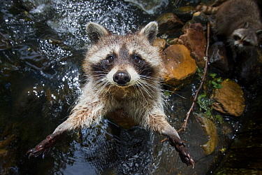 Raccoon (Procyon lotor)up in riverbed, California