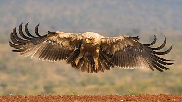 Tawny Eagle (Aquila rapax) landing, Zimanga Game Reserve, South Africa