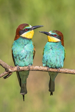 European Bee-eater (Merops apiaster) male and female, Bekes, Hungary