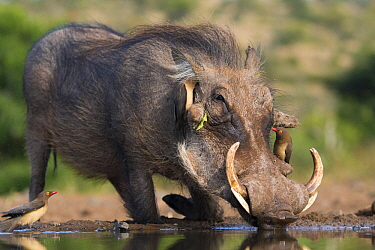 Warthog (Phacochoerus africanus) drinking at waterhole with Red-billed Oxpeckers (Buphagus erythrorhynchus), Zimanga Game Reserve, South Africa