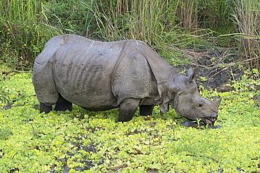 Indian Rhinoceros (Rhinoceros unicornis) feeding on aqautic vegetation, Kaziranga National Park, India