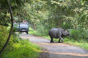 Indian Rhinoceros (Rhinoceros unicornis) on road near tourists, Kaziranga National Park, India