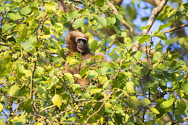 Hoolock Gibbon (Hylobates hoolock) female, Kaziranga National Park, India