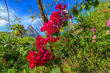 Purple Bougainvillea (Bougainvillea spectabilis) flowering, Saint Lucia, Caribbean