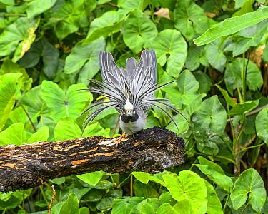 Yellow-crowned Night Heron (Nyctanassa violacea) in defensive posture, Castara Beach, Trinidad and Tobago, Caribbean