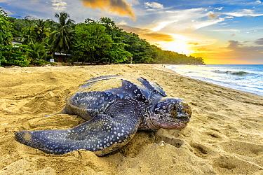 Leatherback Sea Turtle (Dermochelys coriacea) female returning to sea after egg laying, Trinidad and Tobago, Caribbean
