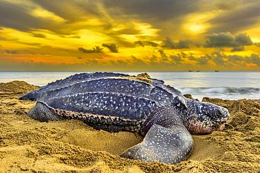 Leatherback Sea Turtle (Dermochelys coriacea) female on beach at sunrise after egg laying, Trinidad and Tobago, Caribbean
