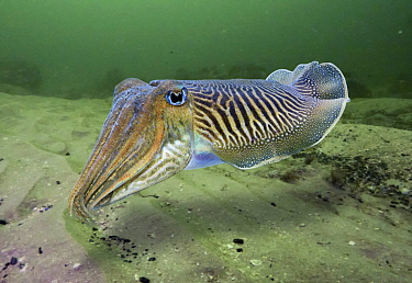 Common Cuttlefish (Sepia officinalis), Portugal