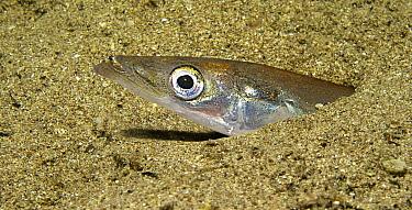 Lesser Sand Eel (Ammodytes tobianus) buried in sand, Portugal
