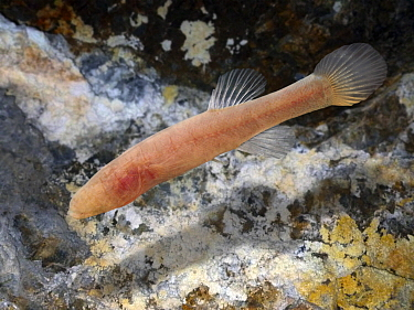 Hoosier Cavefish (Amblyopsis hoosieri),a blind, subterranean fish native to North America