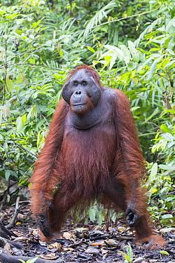 Orangutan (Pongo pygmaeus) male, Tanjung Puting National Park, Borneo, Indonesia