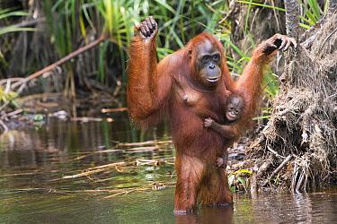 Orangutan (Pongo pygmaeus) mother wading with young, Tanjung Puting National Park, Borneo, Indonesia