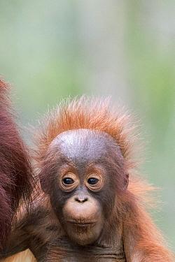 Orangutan (Pongo pygmaeus) young, Tanjung Puting National Park, Borneo, Indonesia