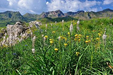 Straw-colored Turk's Cap Lily (Lilium pyrenaicum) and Asphodel (Asphodelus sp) flowering below Pic du Midi d'Ossau, Ossau Valley, Pyrenees National Park, France