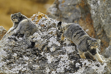 Pallas' Cat (Otocolobus manul) pair, Tibetan Plateau, China