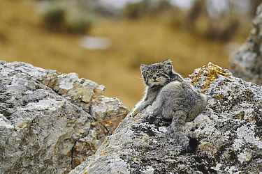 Pallas' Cat (Otocolobus manul), Tibetan Plateau, China