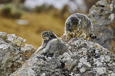 Pallas' Cat (Otocolobus manul) pair, Tibetan Plateau, China