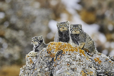 Pallas' Cat (Otocolobus manul) mother and kittens, Tibetan Plateau, China
