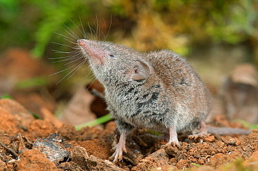 Greater White-toothed Shrew (Crocidura russula), Lorraine, France