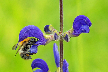 Brown Bumblebee (Bombus pascuorum) feeding on Meadow Clary (Salvia pratensis) flower nectar, France