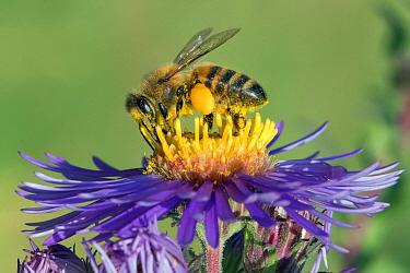 Honey Bee (Apis mellifera)on New England Aster (Symphyotrichum novae-angliae) filling pollen baskets, Jean-Marie Pelt Botanical Garden, Lorraine, France