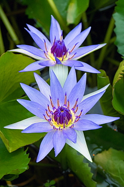 Blue Pygmy Water Lily (Nymphaea colorata) flowers, Lorraine, France