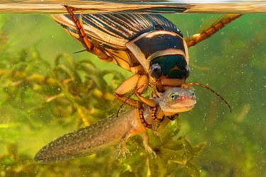 Great Diving Beetle (Dytiscus marginalis) female with Alpine Newt (Ichthyosaura alpestris) larva prey, Lorraine, France