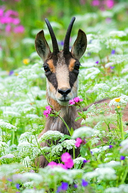 Chamois (Rupicapra rupicapra) in wildflowers, Vosges, France