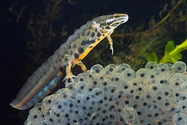 Smooth Newt (Lissotriton vulgaris) male on Common Frog (Rana temporaria) spawn, Lorraine, France
