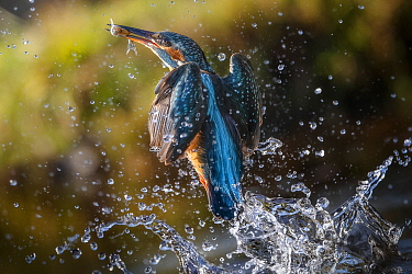 Common Kingfisher (Alcedo atthis) fishing, Ferrara, Italy