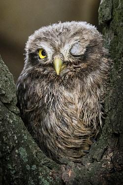Tawny Owl (Strix aluco) chick, Mantova, Italy
